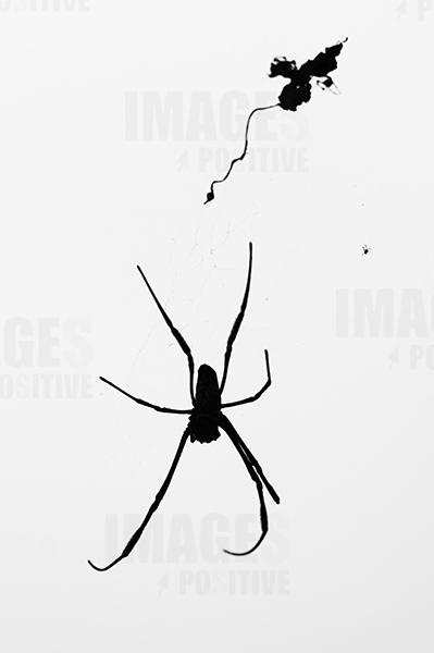 Las arañas poetas